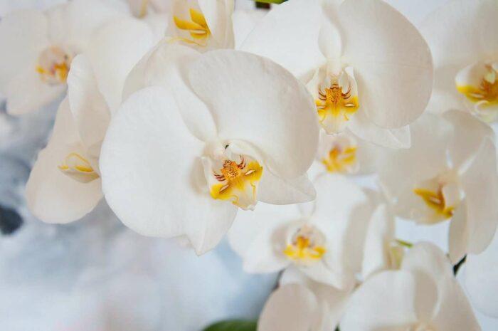 Orkide - A.Brask